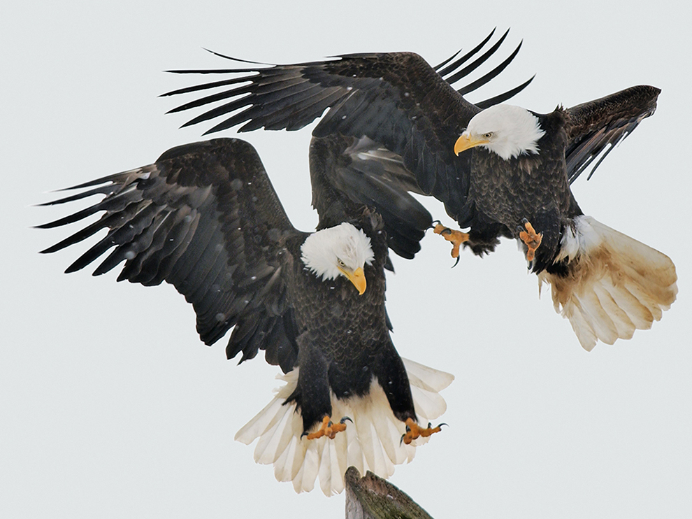 bald eagles national geopgraphic.jpg
