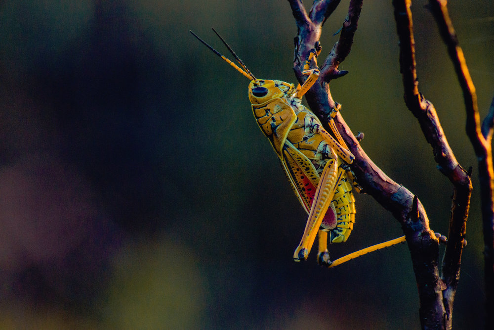 gouthaman-raveendran- grass hopper small UP cW.jpg