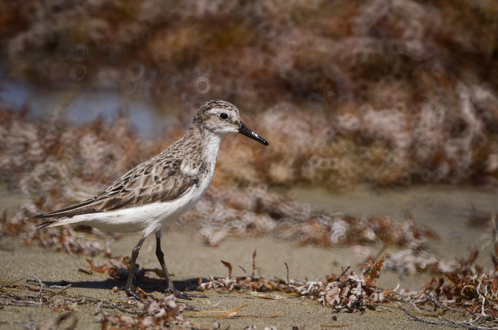 michelle-cintron-sandpiper sanderling Up cW.jpg