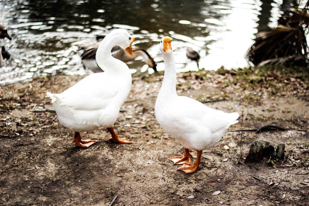 scott-van-daalen two Geese Up cW.jpg