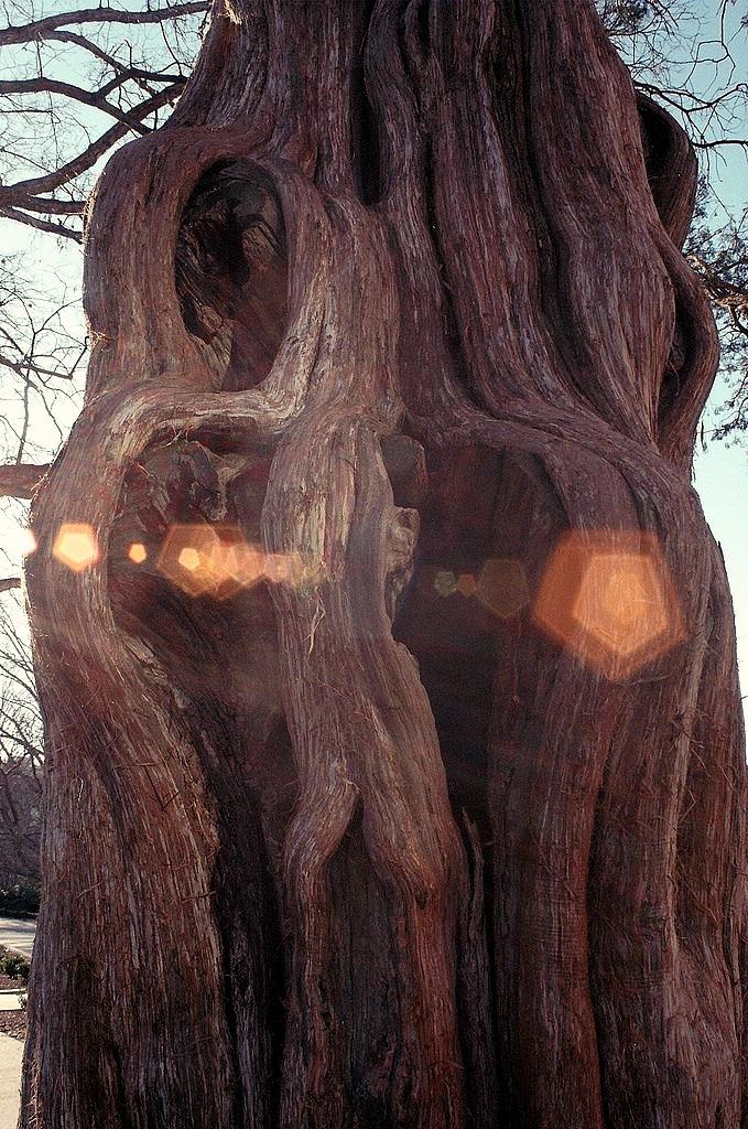 Tilman Tree.jpg