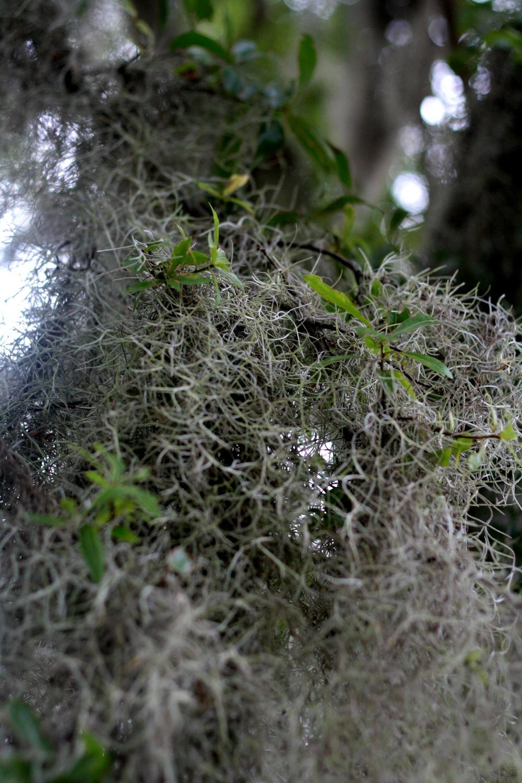 Spanish Moss1.jpg