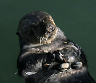Sea Otter with Shells Brocken Inaglory (CC BY-SA 3.0)