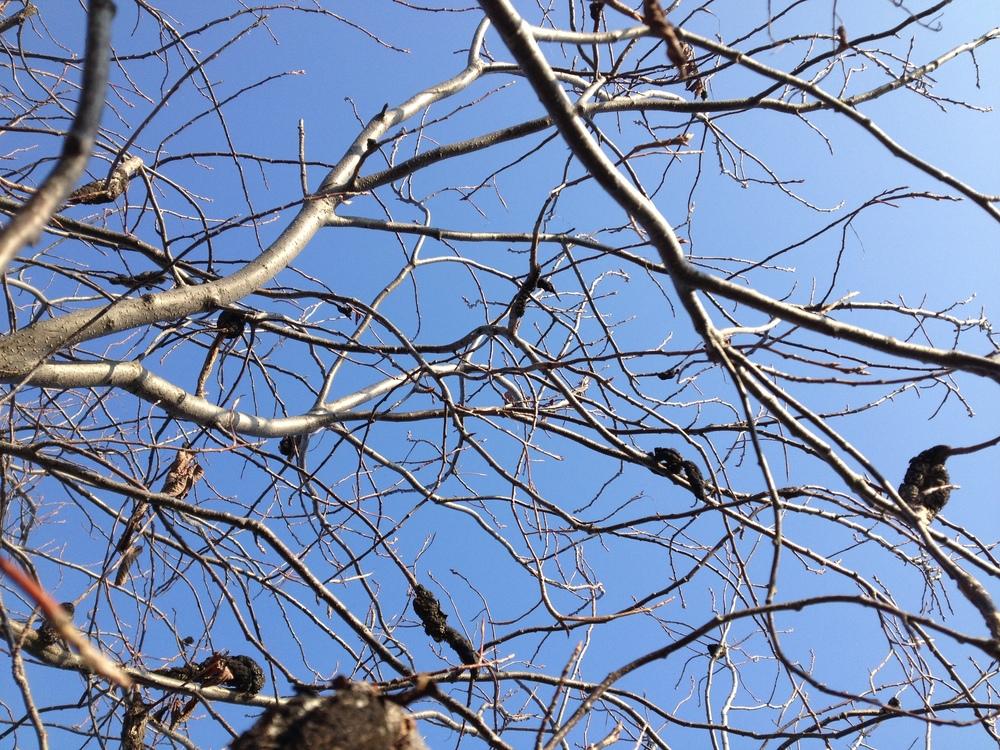 Lancing Branches 11-16-12, MI