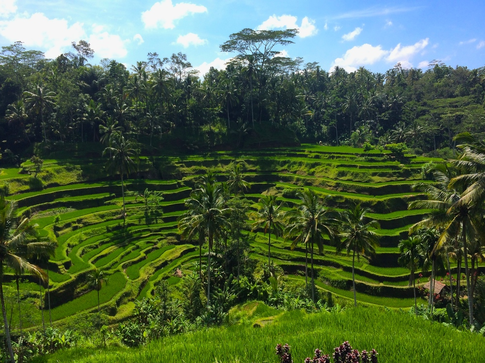 Rice Fields near Ubud, Bali - March 2014