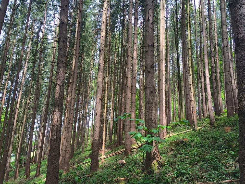 bavarian fir trees