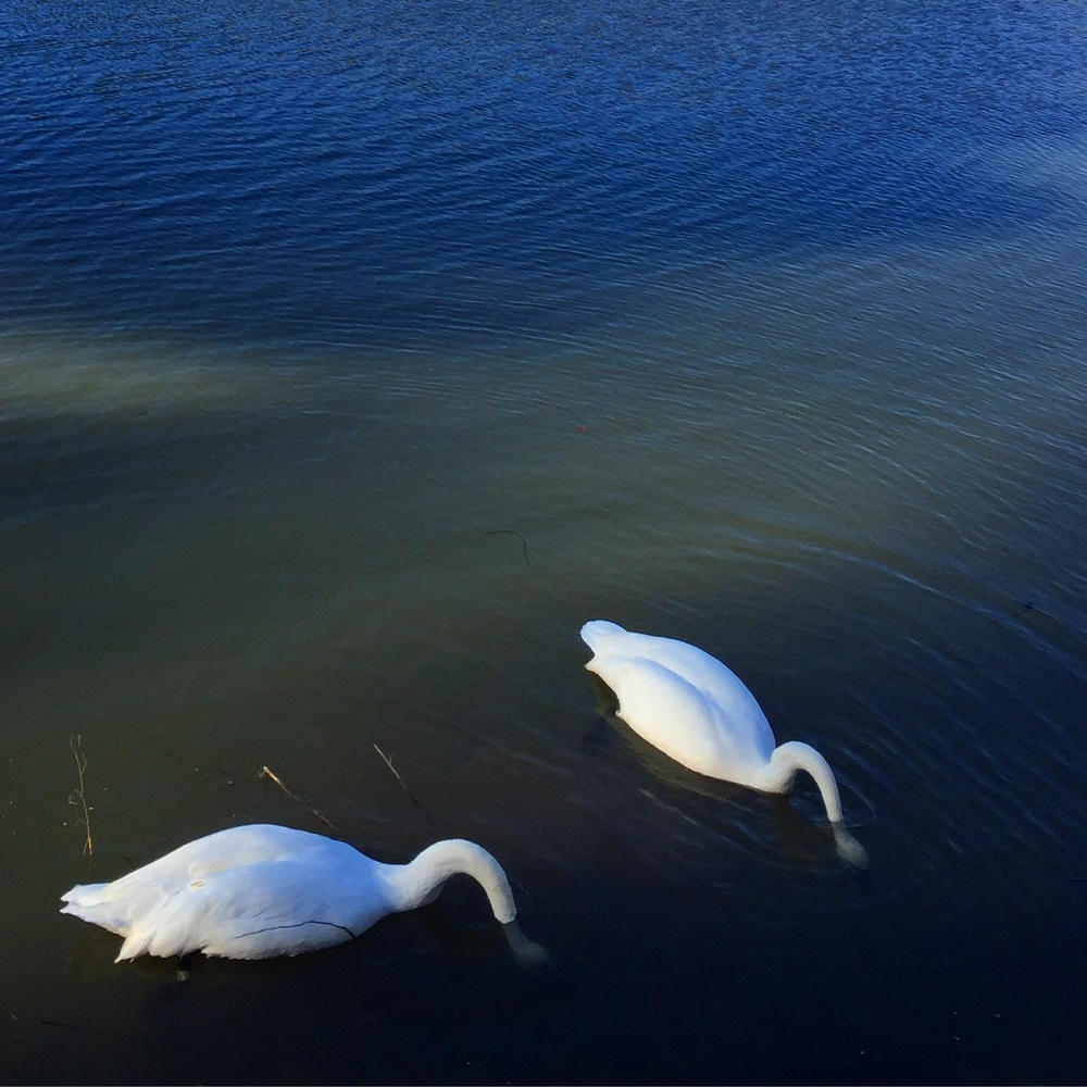 Swans on Star Lake, Birmingham.
