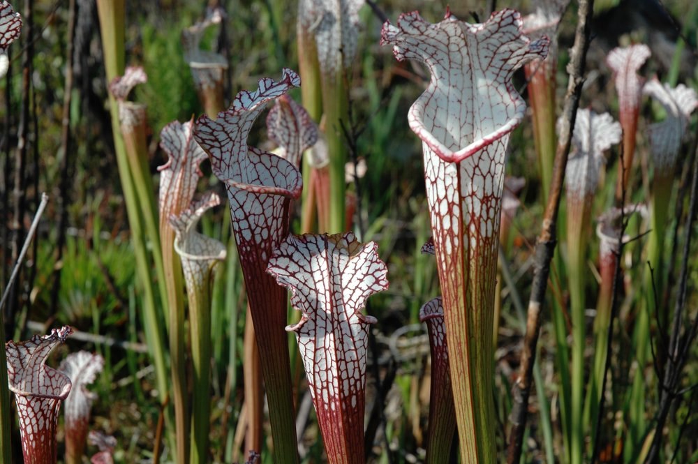 Pitcher plants, taken by Dori while on a tour of Splinter Hill Bog, Alabama.