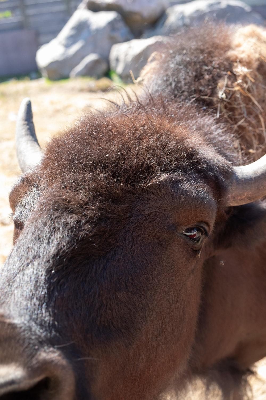 Bison kan også lide grønt