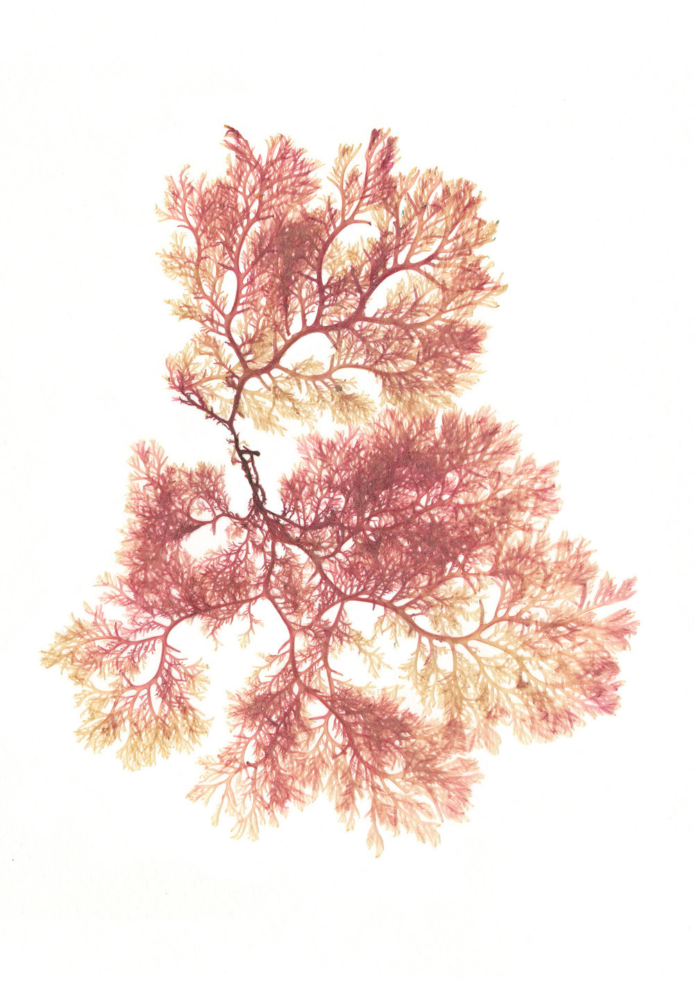 Pink-1-Web.jpg