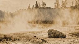 Yellowstone_Buffalo.jpg