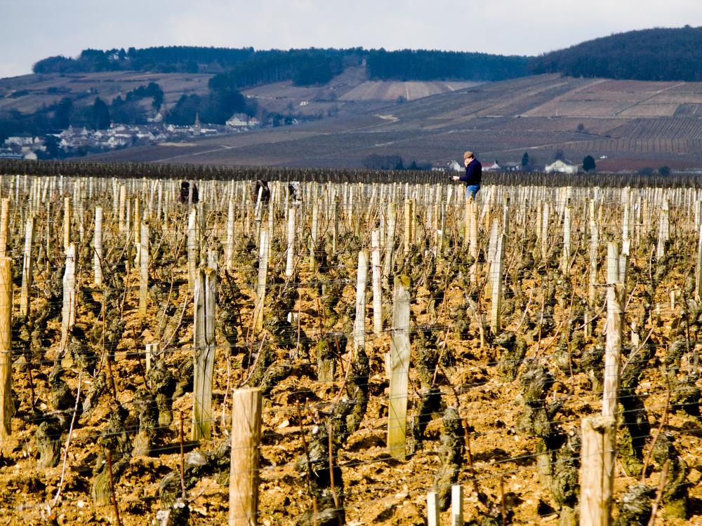 burgundian vines