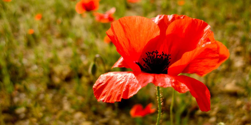 provençal poppy
