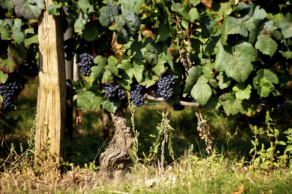 Pinot Noir grapes in Burgundy, France