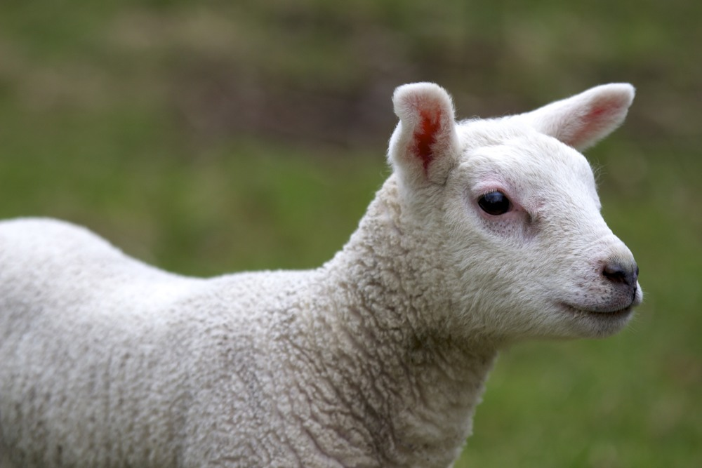 sheep_6_tpace.jpg