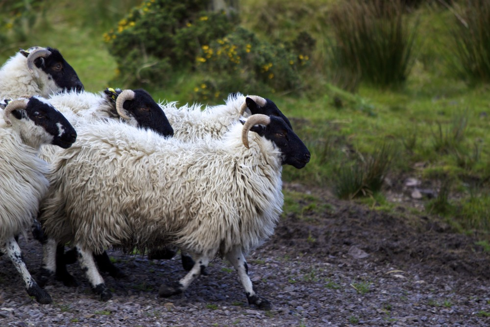 sheepdogdemo_6_tpace.jpg