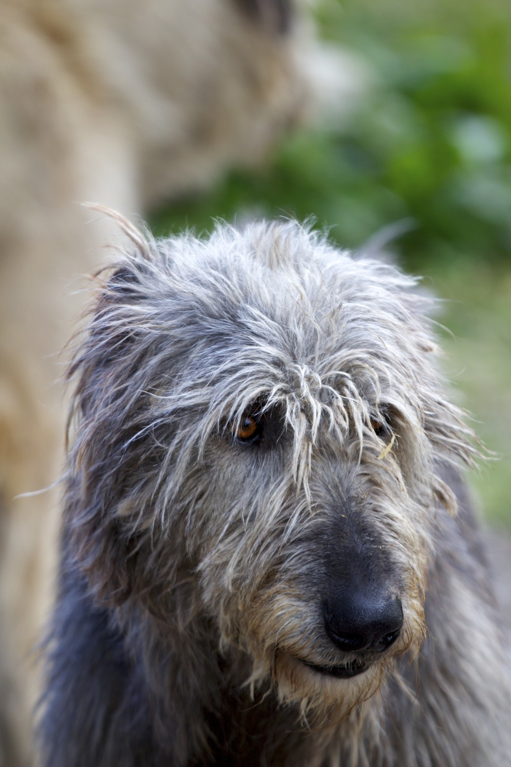 wolfhound_3_tpace.jpg