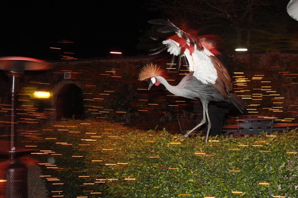 Exotic birds walking around the backyard