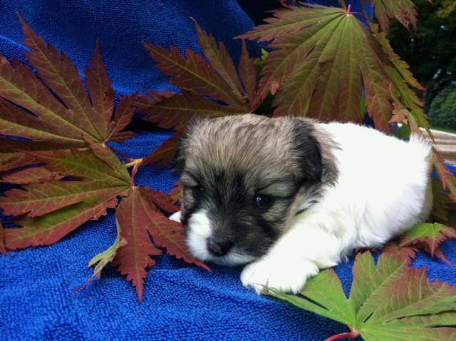 3rd born tricolor girl