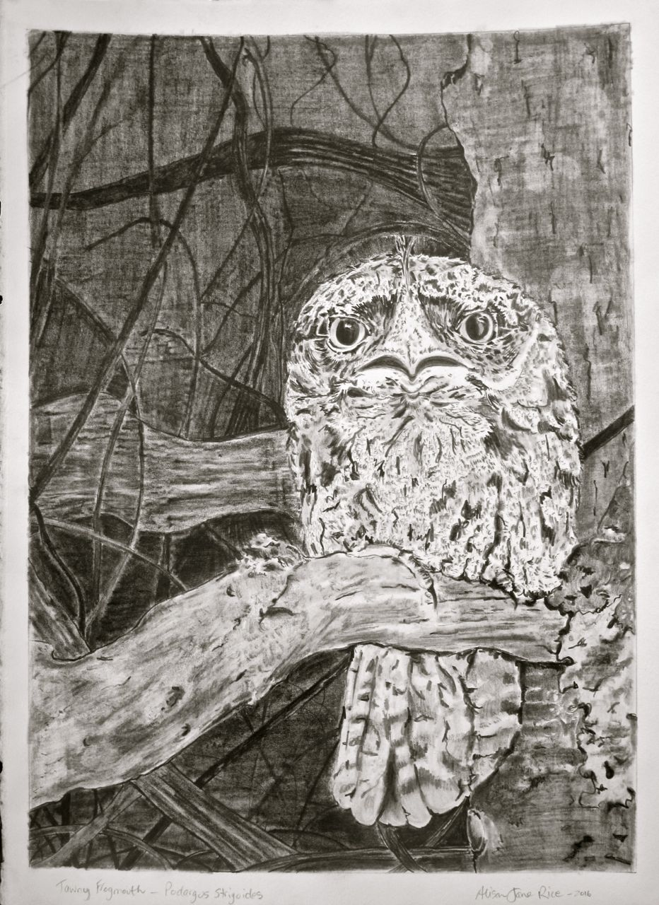 Tawny frogmouth_leura_grahite drawing by Alison Jane Rice 2016.jpg