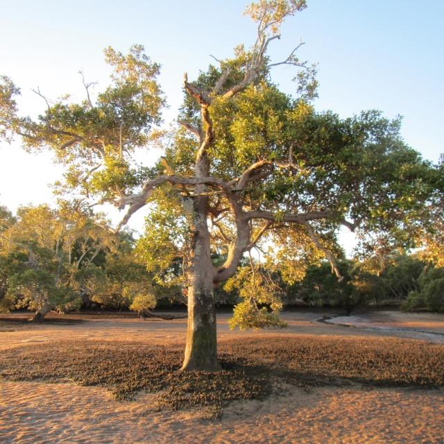 hays inlet mangrove
