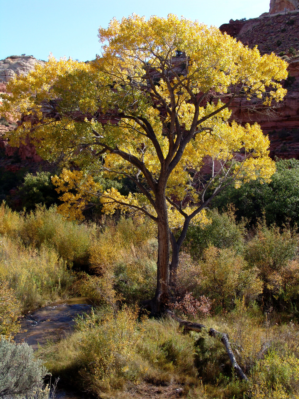 Cottonwood, Calf Creek Canyon, near Escalante, Utah, 2008