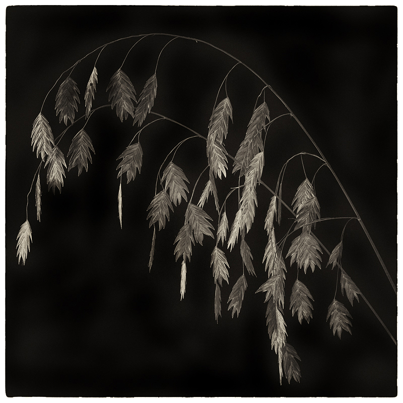 Northern sea oats ( Chasmanthium latifolium )