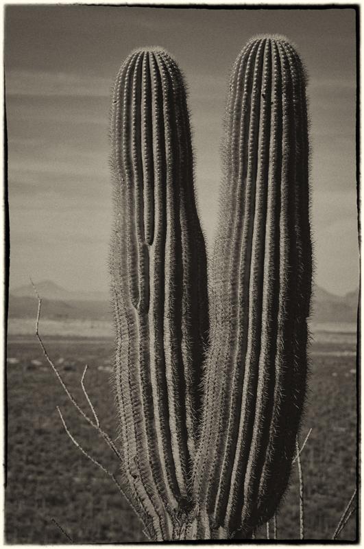 Saguaro Cactus 5_sep.jpg
