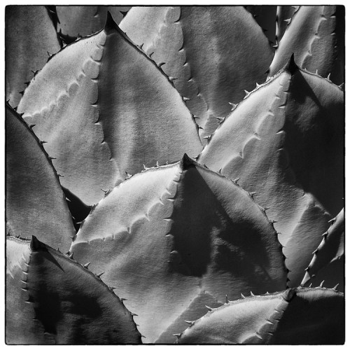 Agave parryi  var.  huachecensis . ©Lee Anne White.