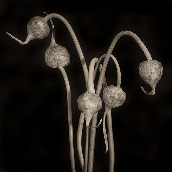 Leek seedpods. ©2015 Lee Anne White