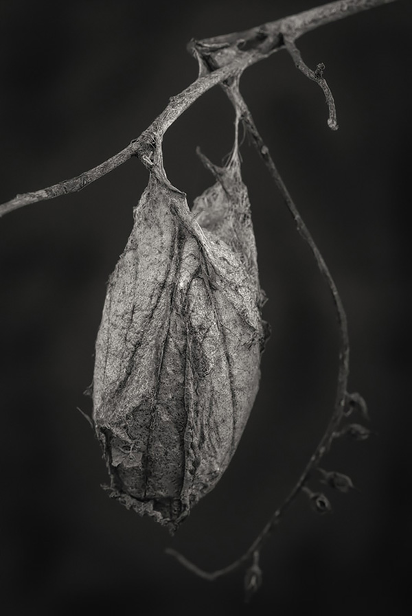 Saturnid moth cocoon  .    Photo ©2016 Lee Anne White