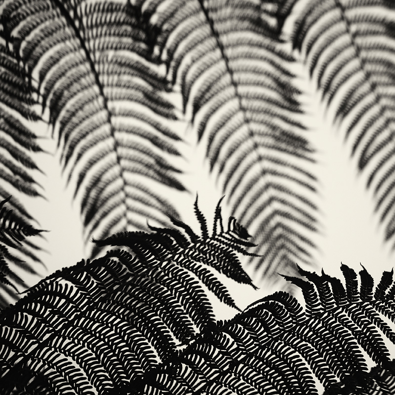 Cyathea cooperi, the Australian tree fern. Photographed last week at the San Francisco Botanical Garden. Photo ©2016 Lee Anne White