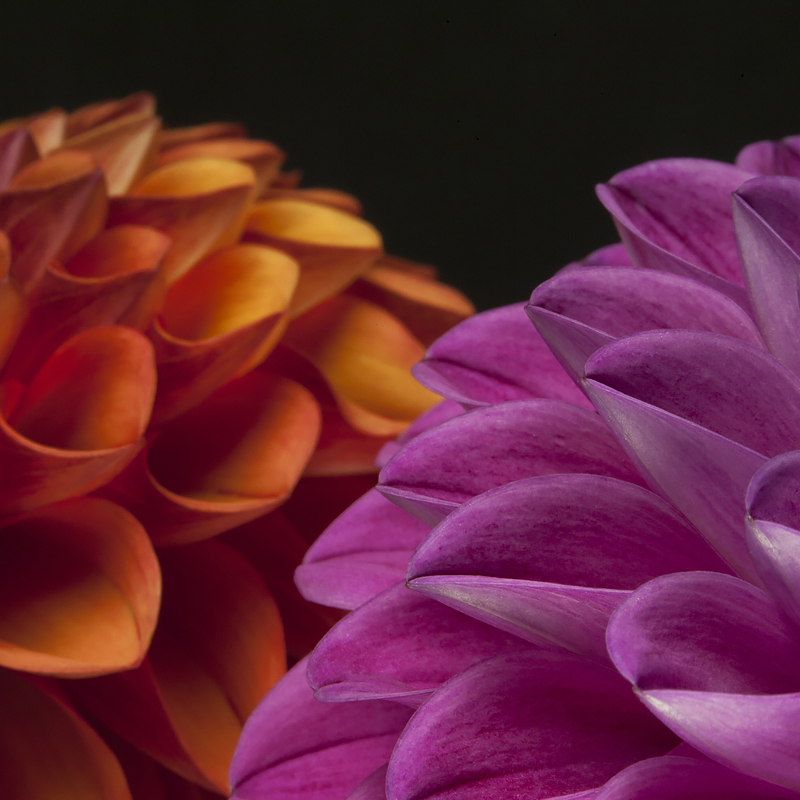 Dahlias from  Endless Summer Flower Farm , Camden, Maine. ©2016 Lee Anne White.