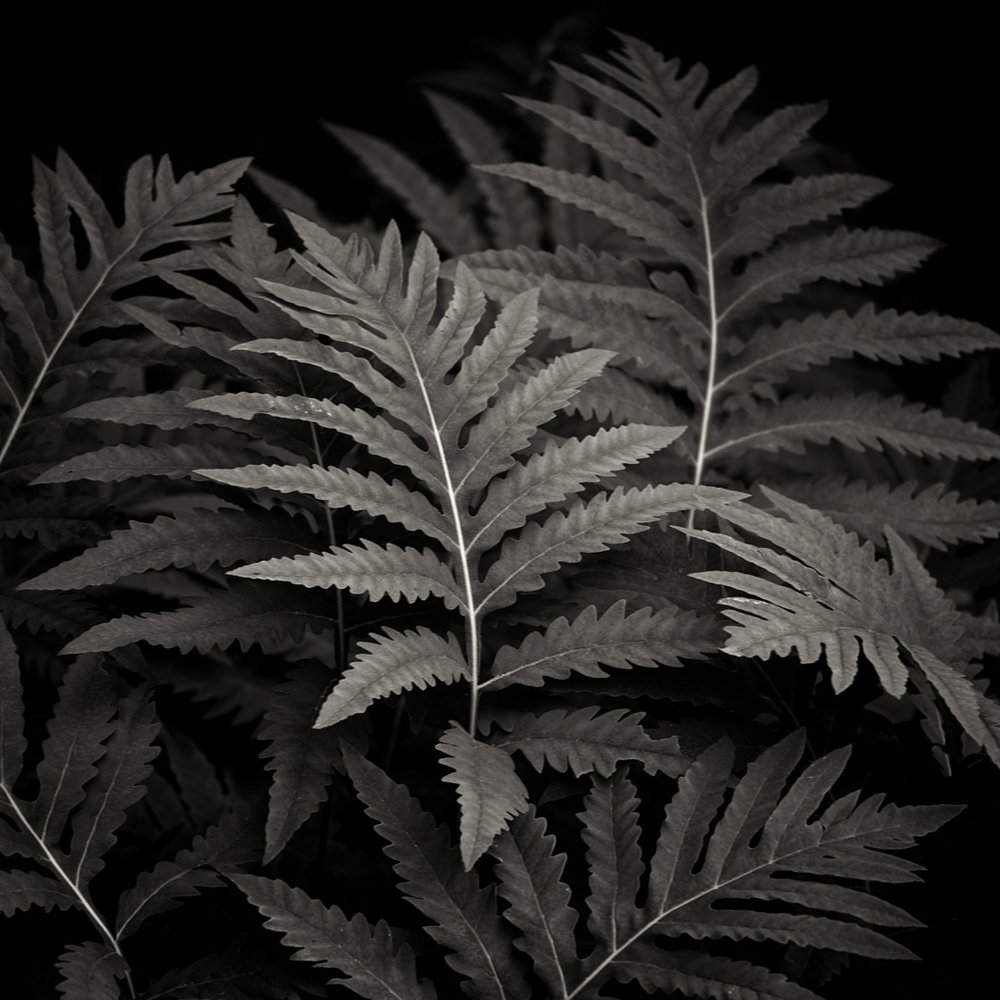 Sensitive fern ( Onoclea sensibilis ). ©Lee Anne White