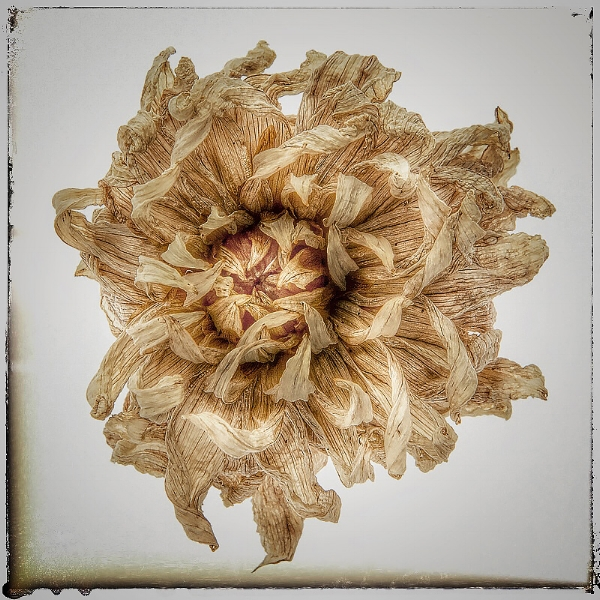 Dahlia, dried flower head . ©2017 Lee Anne White.