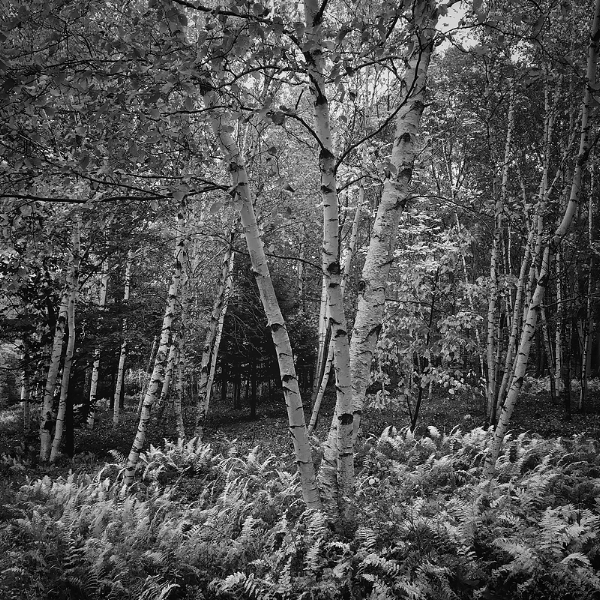 Birch trees and hay-scented ferns. Maine. ©2017 Lee Anne White.