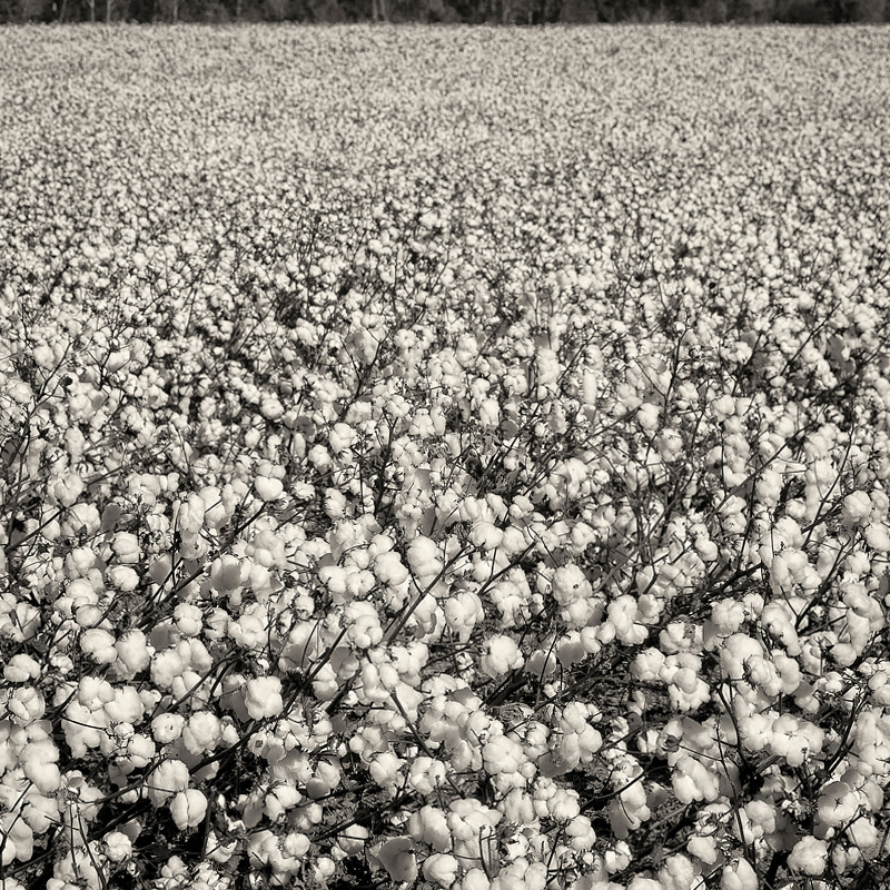 Ready for Picking.  Cotton field somewhere in middle Georgia. ©2107 Lee Anne White.