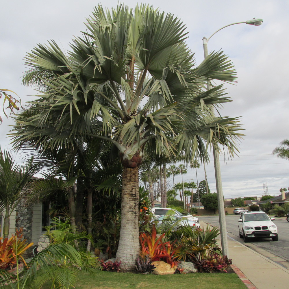 Bismarckia nobilis , on left, and  Latania lontaroides, barely visible on the right, next to sidewalk.  Both were about 3 feet tall when originally planted.