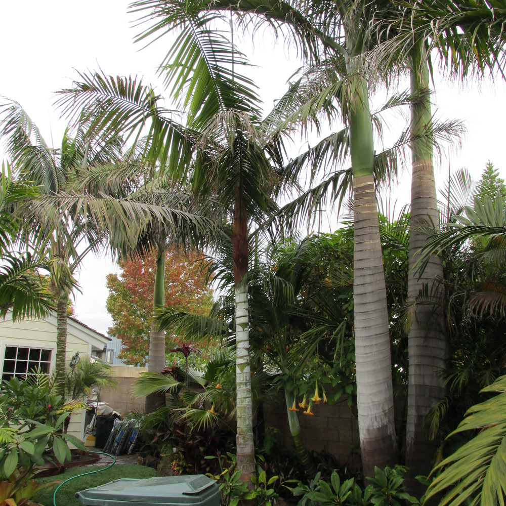 One of the big Dypsis leptocheilos on the left, with two large Roystonea on the right.