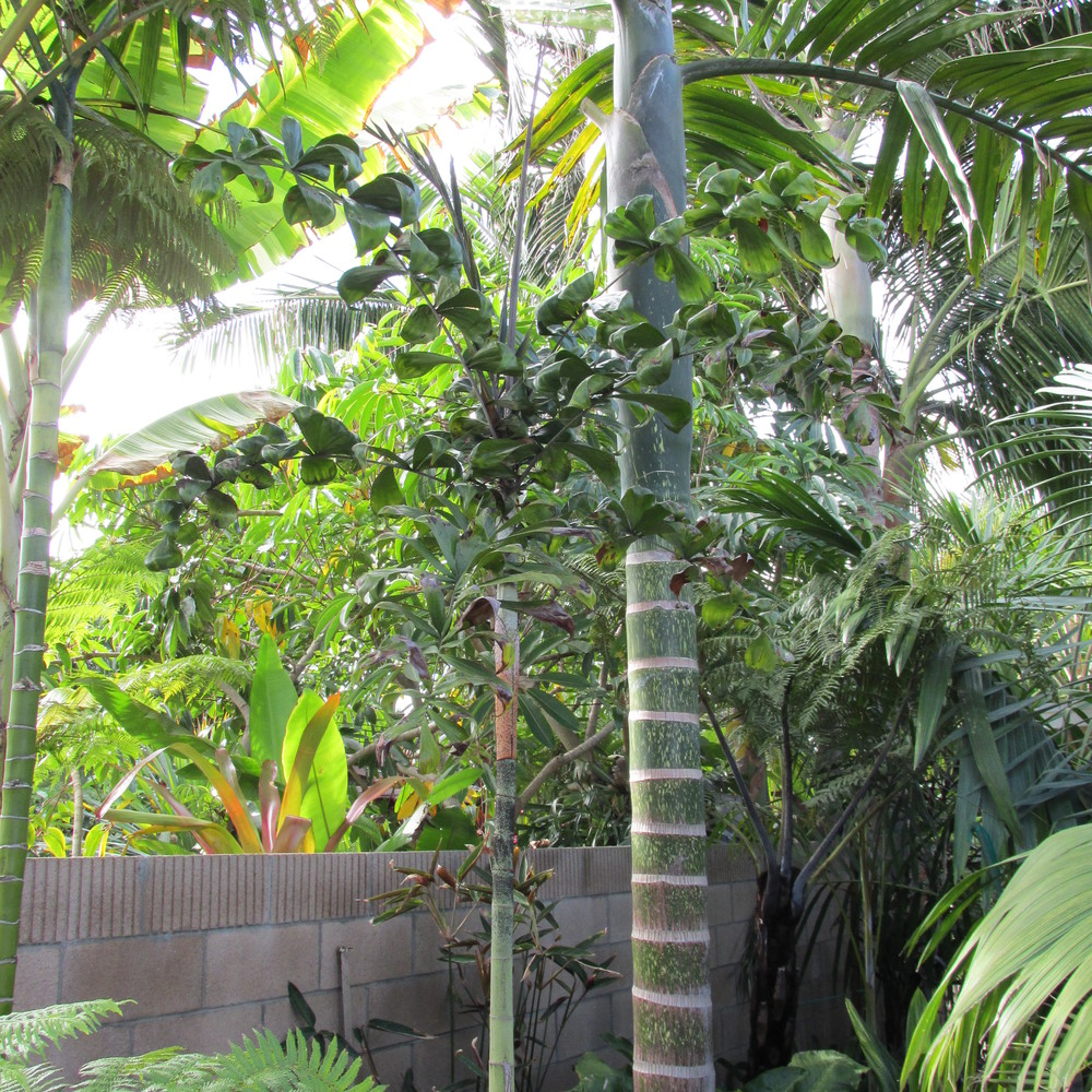 "Dypsis ""Pink Crownshaft"" (in the middle)"