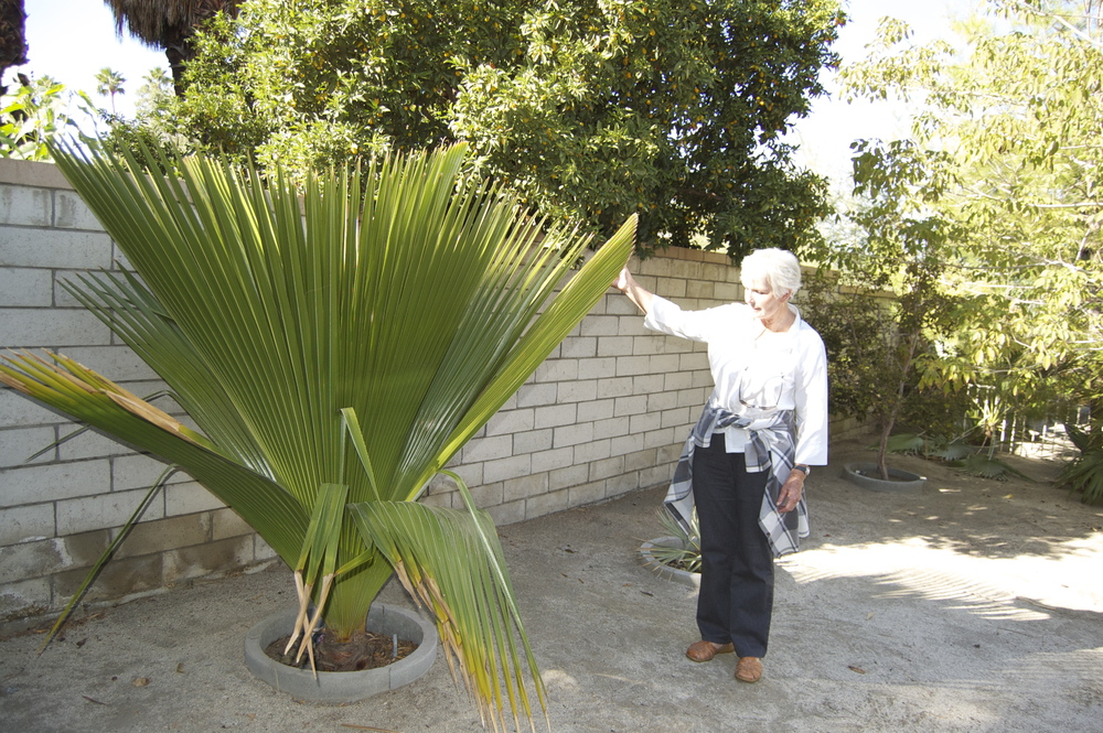 PSSC Board member Holly Clow with a Copernicia macroglossa in Palm Desert, November, 2011.