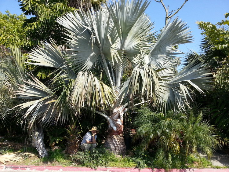 Member Paul Denton and his magnificent Bismarckia nobilis in San Diego.
