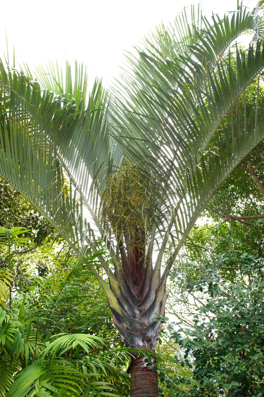 Dypsis decaryia, the Triangle Palm. Photo by Jack Sayers.