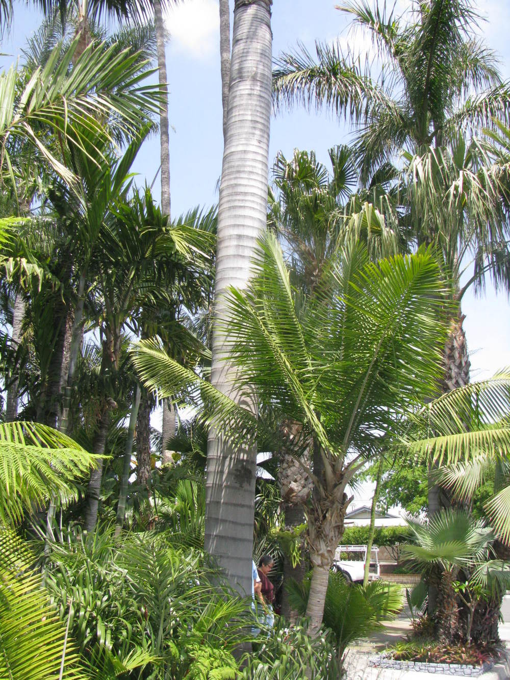 These palms have been around a while, some for more than 40 years.