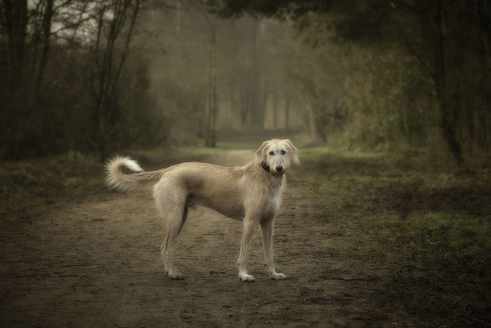 Lurcher Dog Portrait.jpg