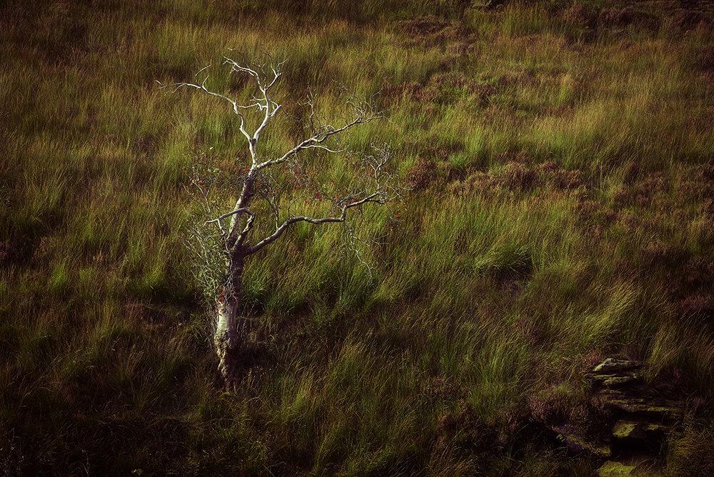 Saddleworth Moorland Tree