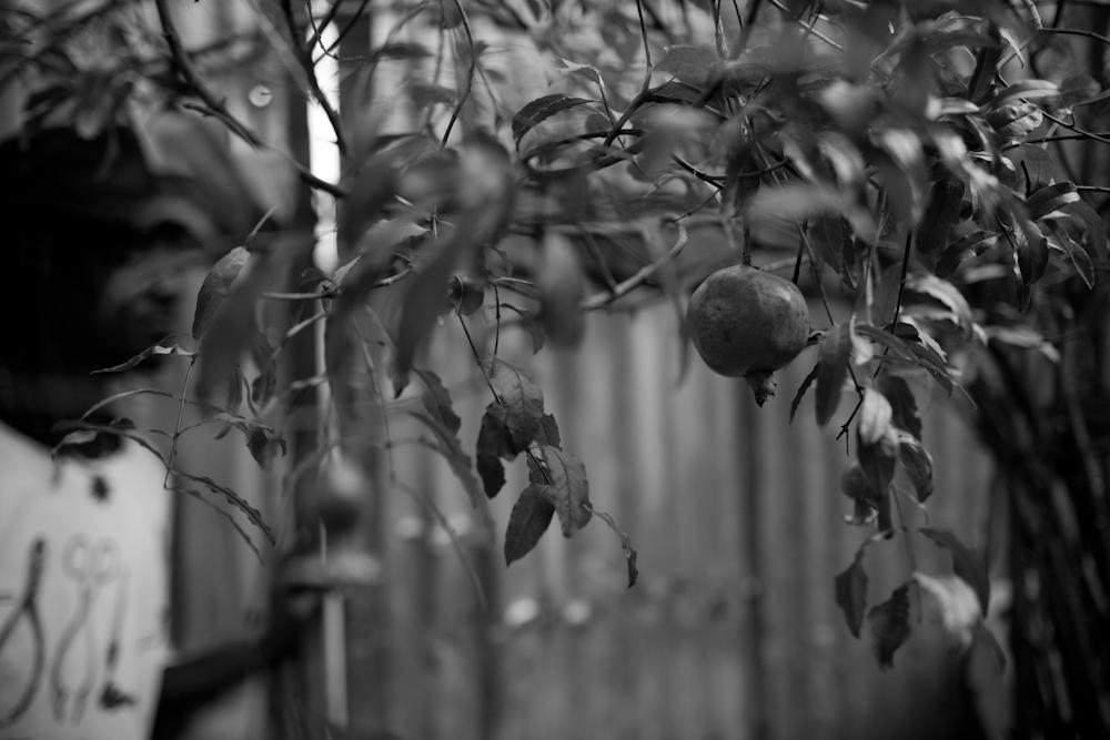 Pomegranate Tree, Scottie.Trenchtown, Kingston, Jamaica.