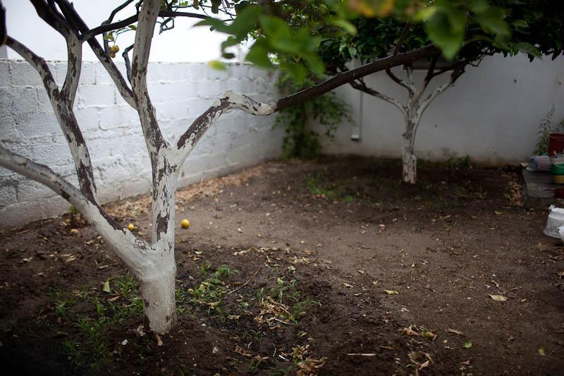 Lemon Tree, Paros, Greece. May 2010.
