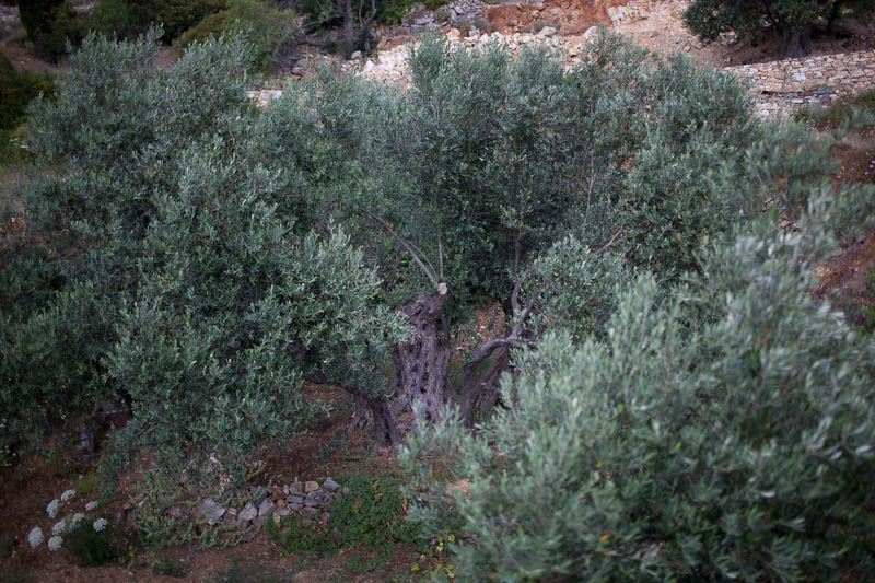 Olive Tree. Paros, Greece. May 2010.