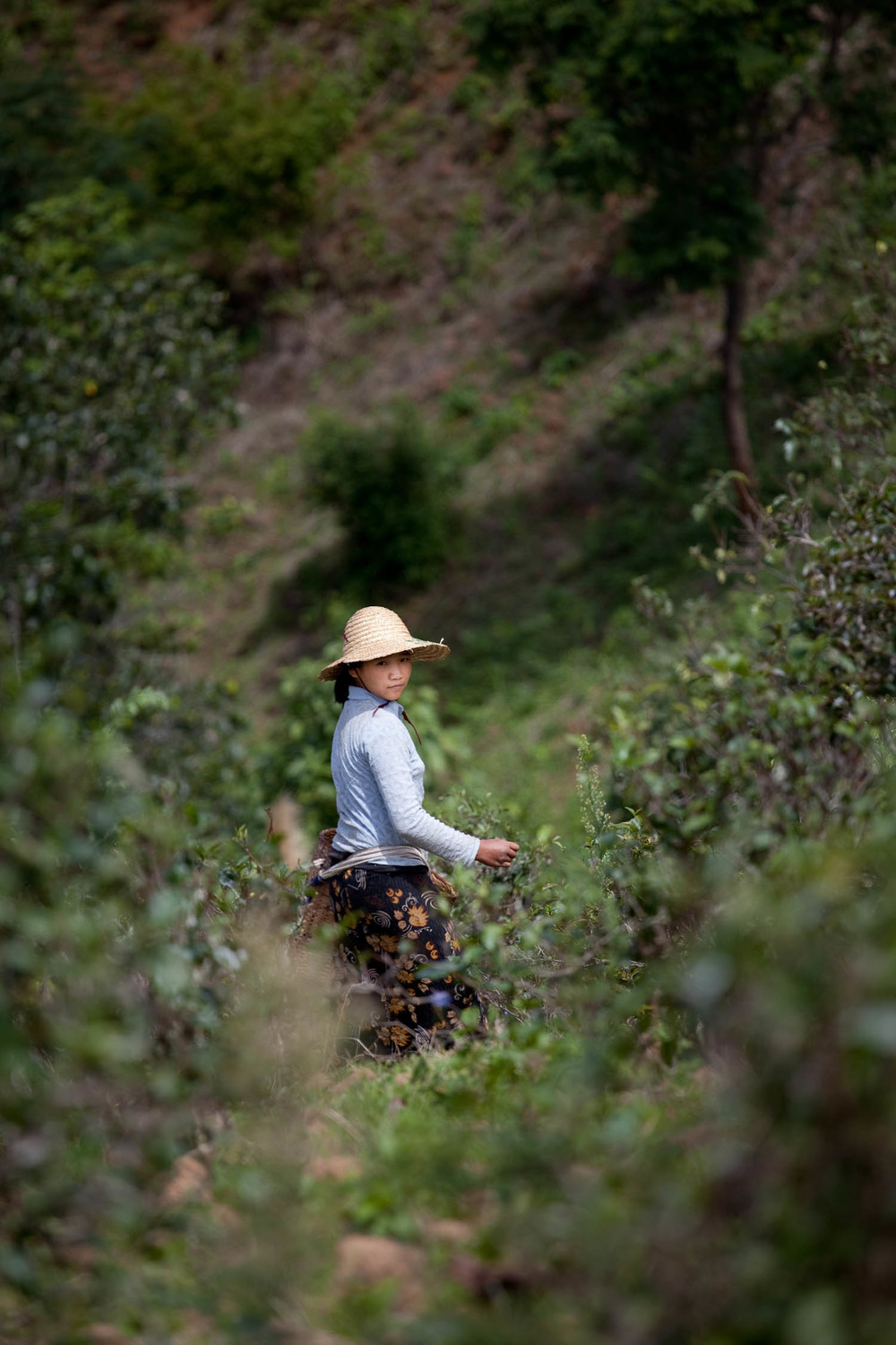 Harvester-portrait-villager-green-tea-picker-Taryaw-kalaw-myanmar-burma-asia-travel